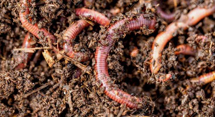 Worm Farm Composting with Red Wigglers
