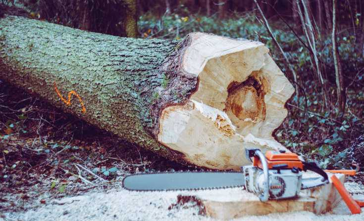 Kill a pine tree with a chainsaw or axe