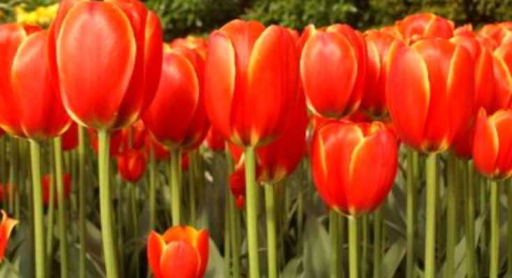 Spring Bulbs to Plant in the Fall