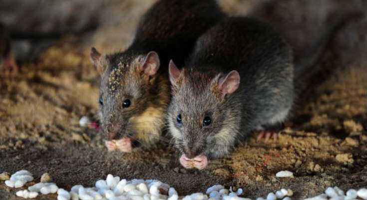 Best Rat Poison: The Best Ways To Get Rid Of Rats