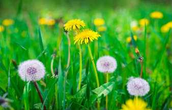 How to kill dandelions?