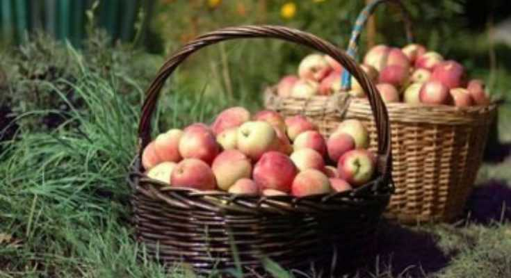 Harvesting Apples: Pick your Own Apple This Year