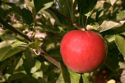 Red Apple to pick