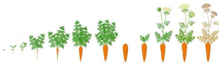 How to grow carrots - growth phases