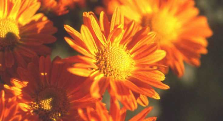 Fall Mums: The Guide to Growing and Caring for Chrysanthemums