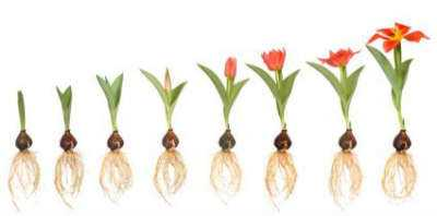 Tulip Bulbs Growing Stages