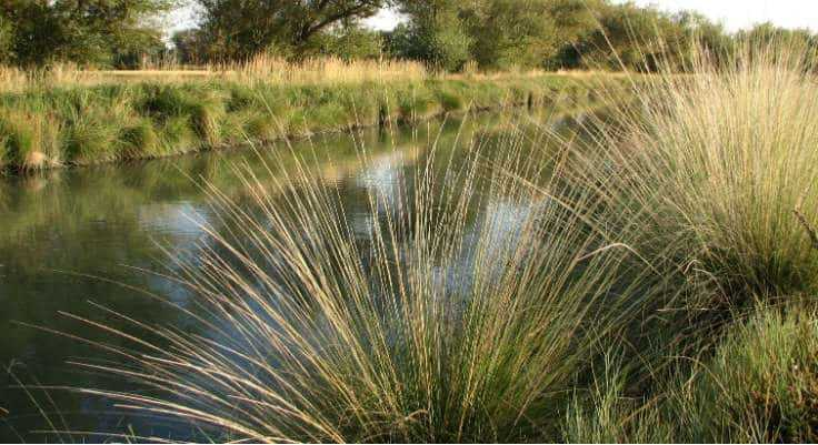 Native Grasses - Deergrass