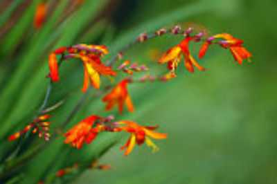 prune a red crocosmia
