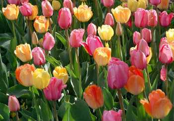 History of British Gardens - Tulips